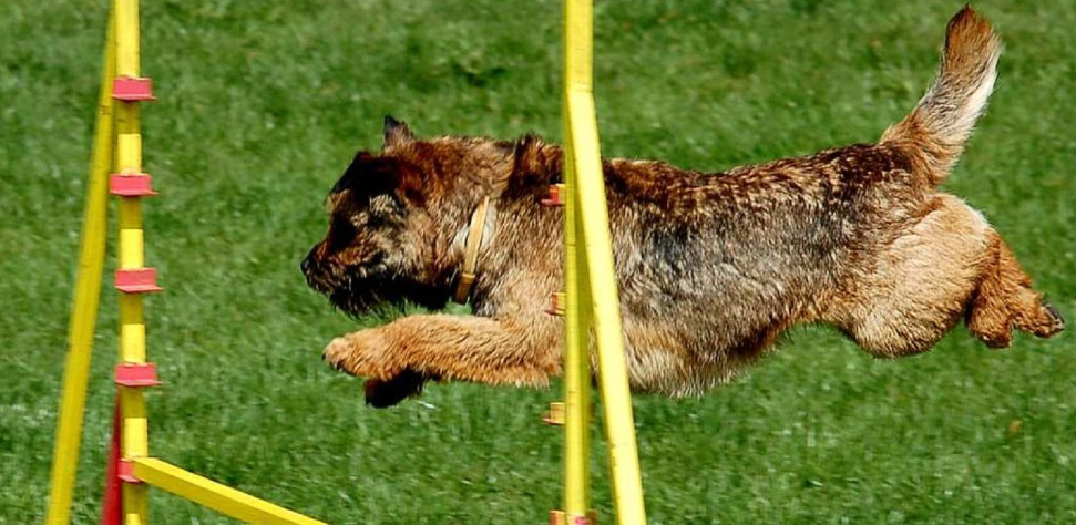 Dog in agility course
